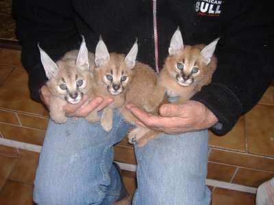 Продам крупные виды хищных кошек
