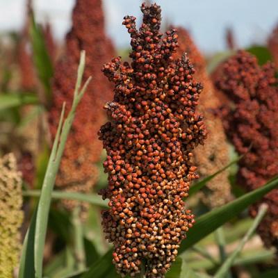 Семена сорго на посевную 2018
